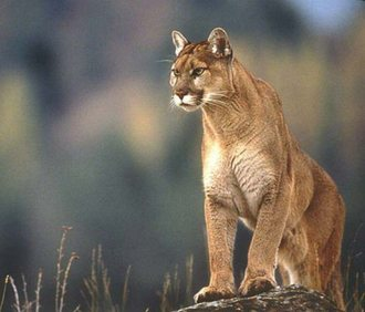 Puma hembra