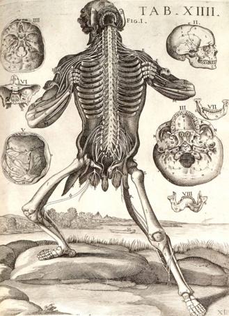Tabulae anatomicae (Tabula XIII). Pietro Berrettini Colonna. 1618