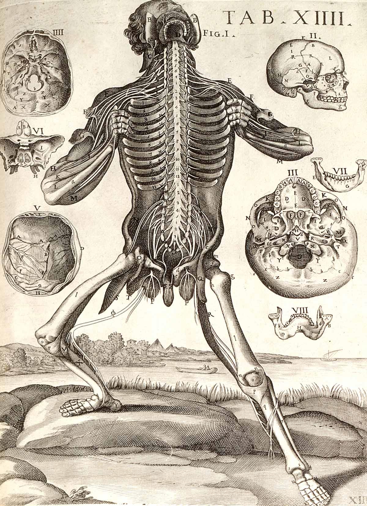 Tabula Anatomica XIII de Petro Berrettino Cortonensi